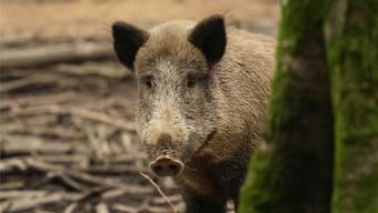 Fünf Wildschweine sterben bei einem Wildunfall. (Symbolbild)