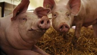 Allzu wohlgenährte Schweine drohen die Pläne der Produzenten zu durchkreuzen. Diese wollen weniger produzieren, um einen höheren Preis zu erzielen. Doch die diesjährigen Mastschweine sind dicker als die Schweine im letzten Jahr. (Symbolbild)