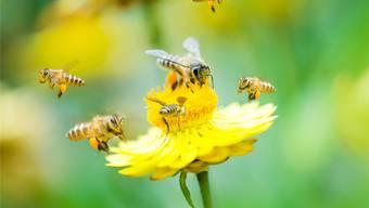 Honig entsteht, indem Bienen Nektariensäfte von Pflanzen aufnehmen, mit körpereigenen Stoffen anreichern, in Waben speichern und dort reifen lassen. Symbolbild/Thinkstock