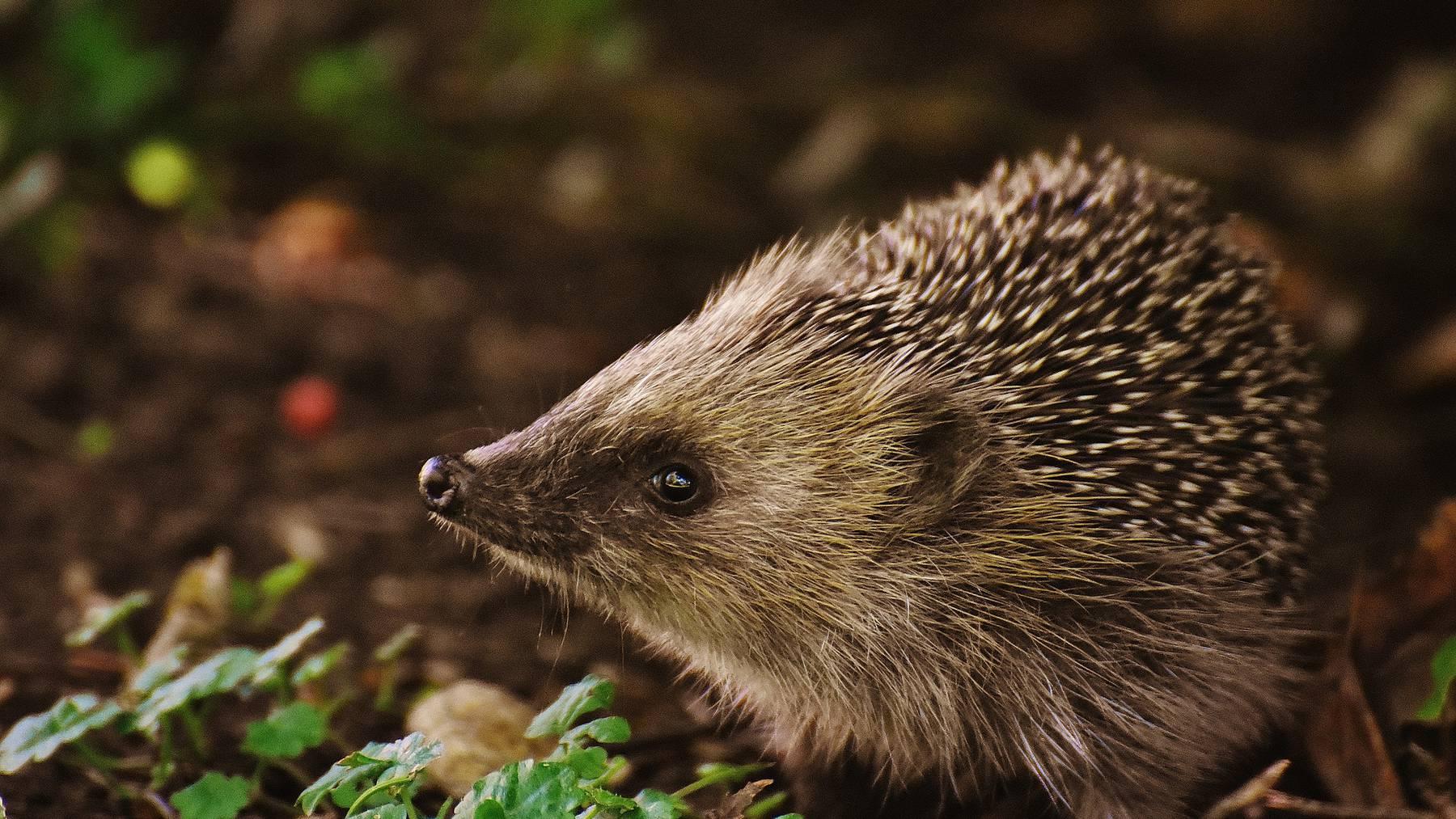 hedgehog-child-1696328_1920