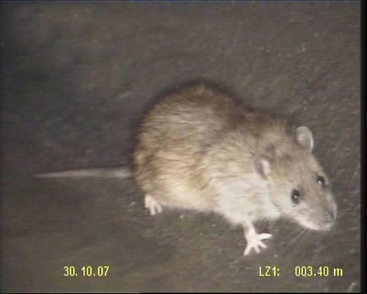 Ratten lieben das warme Wetter, weil der Mensch mehr Müll hinterlässt.