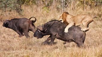 Der Löwe erlegt einen bis zu mehreren hundert Kilo schweren Kaffernbüffel – und macht sich entsprechend häufig die Zähne kaputt.
