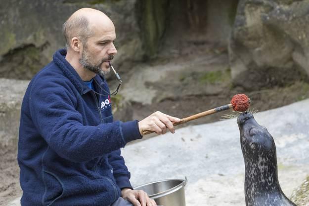 Ein Pfiff signalisiert dem Seehund, dass er die Übung richtig gemacht hat und es gleich einen Fisch gibt.