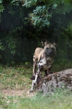 Am 6. Juni fiel dem Tierpfleger auf, dass sich die Hündin (7) anders verhielt als sonst.