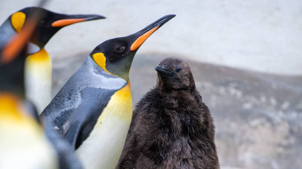 Nachwuchs bei den Königspinguinen im Zoo Zürich