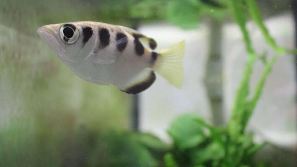 Kann lernen, nur bestimmte Gesichter «anzuspucken»: Der tropische Schützenfisch.