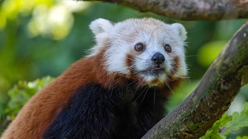 Der neue Rote Panda, Siddhi, erkundet im Zoo Zürich zum ersten Mal sein neues Zuhause. Er soll dort für Nachwuchs sorgen.