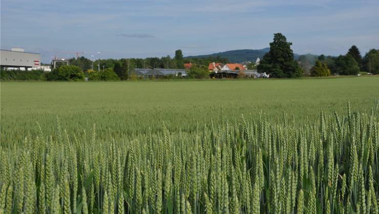 Heute ist das Dietiker Niderfeld noch mehrheitlich grün. Doch wenn hier einst ein neuer Stadtteil steht, soll er durch die Limmattalbahn erschlossen sein.