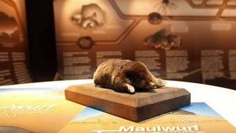Die neue Sonderausstellung im Naturmuseum Solothurn stellt «Maulwurf, Taupe & Co.» in den Fokus
