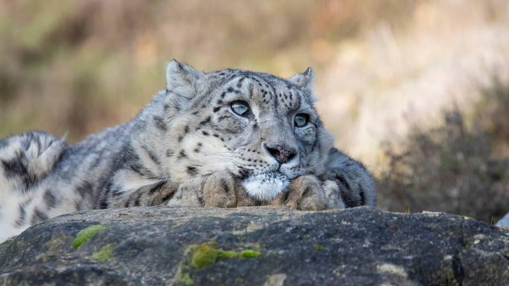 Für immer eingeschlafen: Zoo Zürich nimmt Abschied von Schneeleopard Villy