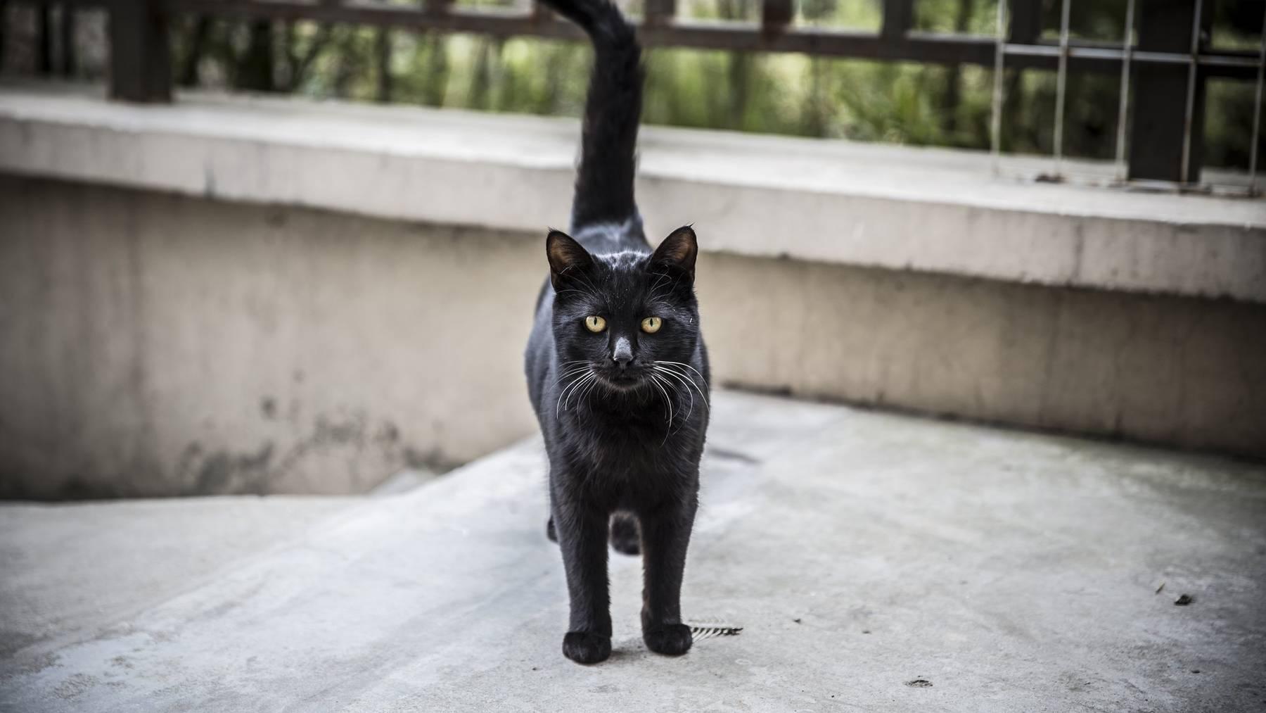 In der Schweiz werden 1,5 Millionen Katzen als Haustiere gehalten. (Symbolbild)