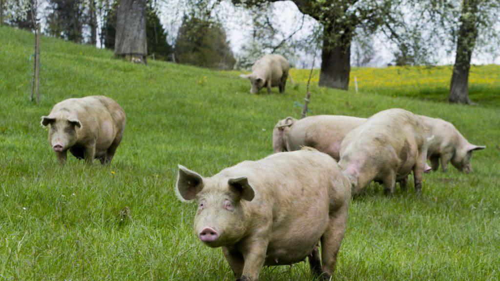 Was brauchen Schweine zum Glücklichsein? Das versuchen Forscher herauszufinden. (Symbolbild)