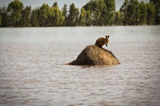 Auch betroffen: Känguru schucht Schutz auf Stein.