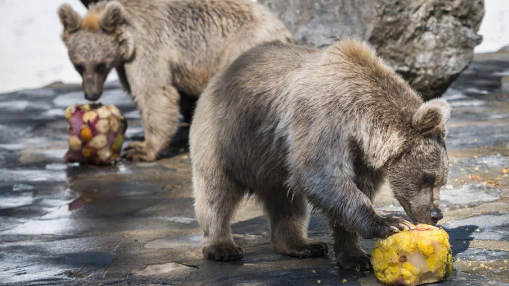 Es ist für einen Zoo eine Herausforderung, der Intelligenz von Braunbären gerecht zu werden. Die umtriebigen Raubtiere entwickeln schnell sinnlose Verhaltensmuster, wenn sie nicht artgerecht gehalten werden. Die Bärenanlage in Servion wurde vor zehn Jahren für 500'000 Franken modernisiert.