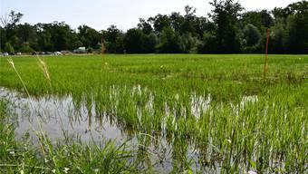 Reisfeld Laufrohr