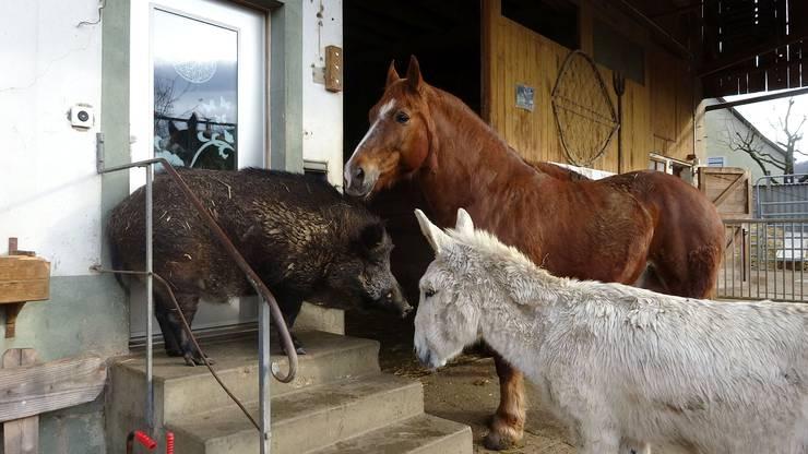 Kein Einlass ins Haus für Wildsau, Pferd und Esel