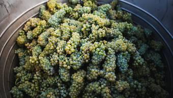 Die Traubenernte 2020 in den Kantonen Zürich, Schaffhausen und Thurgau bleibt mengenmässig unter den Erwartungen zurück. Dafür sind die Trauben qualitativ hochwertig. (Symbolbild)