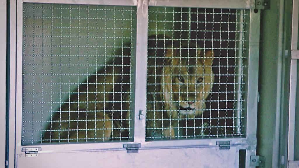 Löwenankunft