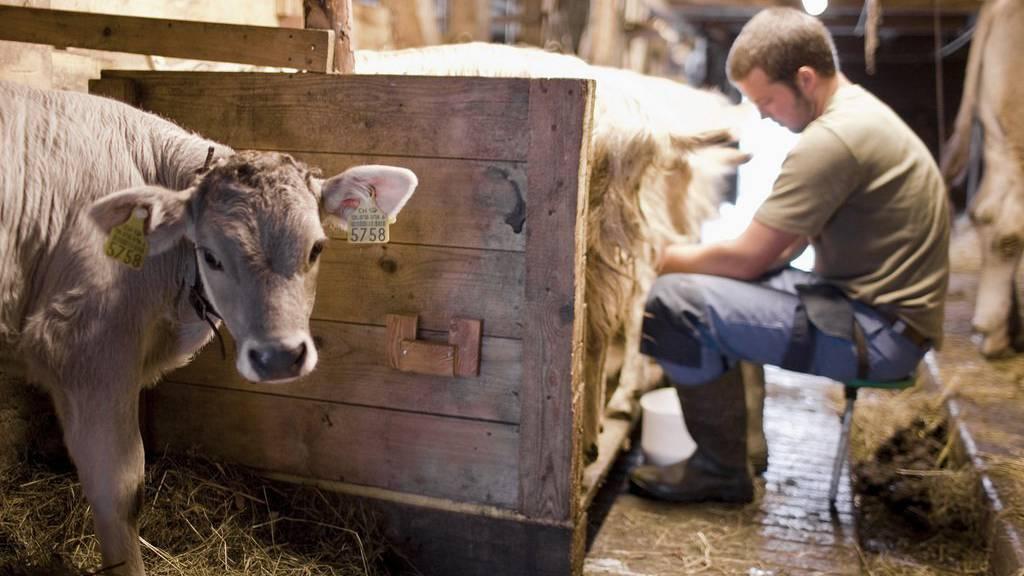 Ein Bauer melkt in einer Alpsennerei in Emmetten/NW (Symbolbild).