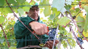 Im Betrieb von Gerhard Wunderlin werden rund 30 Tonnen Weintrauben geerntet.