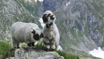 Ungeschützt sind sie Freiwild für den Wolf: Schwarznasenschafe im Wallis.imago