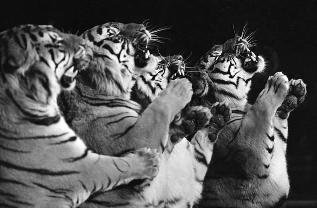 Louis Knie präsentiert eine Raubtiernummer mit Tigern, aufgenommen im März 1977 in Rapperswil.