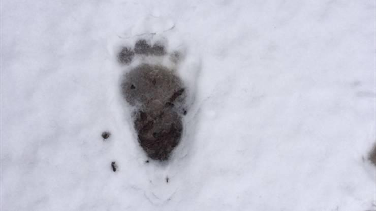 Mutmasslich ein Braunbär hinterliess im Urner Dorf Bürglen Fussabdrücke im Erdreich. Am 8. April 2016 waren bei Zernez GR Abdrücke im Schnee festgestellt worden. (Archivbild)