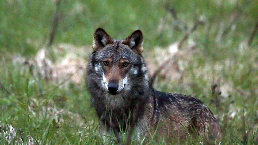 Der Verein Schutz der ländlichen Räume vor Grossraubtieren fordert in einem offenen Brief an Bundesrätin Sommaruga rasch Massnahmen gegen die «unkontrollierte Ausbreitung des Wolfs». (Archivbild)