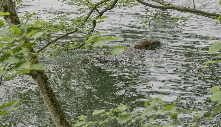 """Ein Biber am Ufer der Limmat. (19.05.2018; 47°28'54.959"""" N 8°18'7.452"""" E)"""