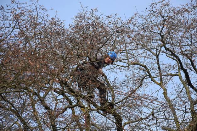 Zuoberst in der Linde ist der Baumpflegespezialist an der Arbeit
