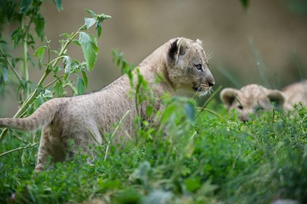 Die drei jungen Löwen wurden Ende Mai und Mitte Juni zur Welt gebracht.