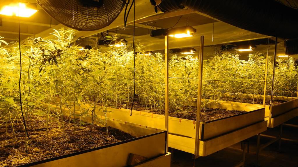 1'000 Hanfpflanzen in Rothenthurm beschlagnahmt