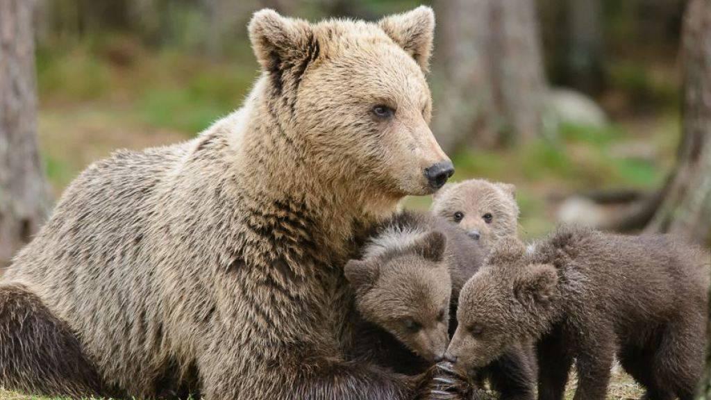 Für ihre Jungen tut eine Bärenmutter so einiges: Auch ihre angeborene Furcht vor Menschen überwinden. (Symbolbild)
