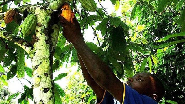 Kakao-Ernte in der Elfenbeinküste (Archiv)