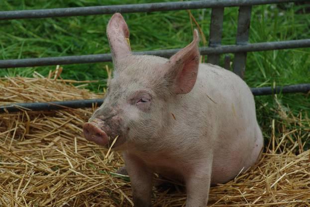 Ein glückliches Schweinchen in Wegenstetten