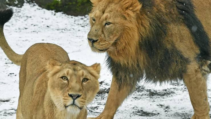 Insgesamt vier Indische Löwen leben im Zoo Zürich. In ihrer Heimat waren die Tiere vom Aussterben bedroht. Heute beträgt der Bestand rund 650 Tiere.