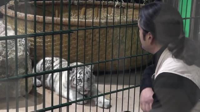 Drei weisse Tiger-Junge machen den Zoo unsicher