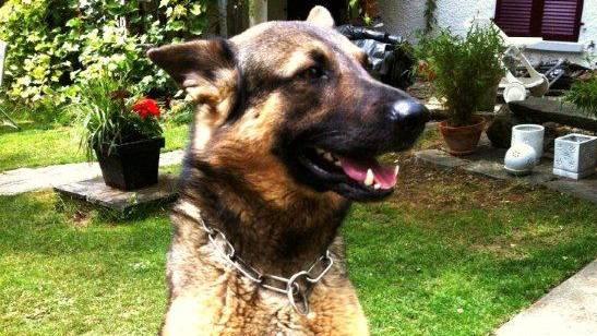 Polizeihund Zaro von der Sturmburg hat einen der Diebe gefangen.