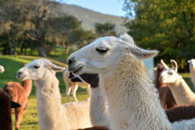 Die Lamas warten gespannt