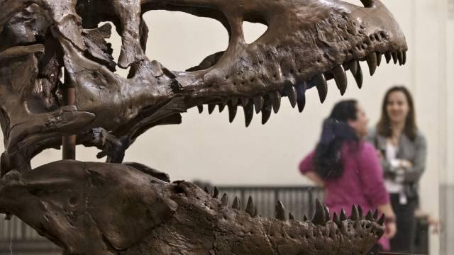 66 Millionen Jahre alt: Tyrannosaurus Rex wurde 12 Meter lang