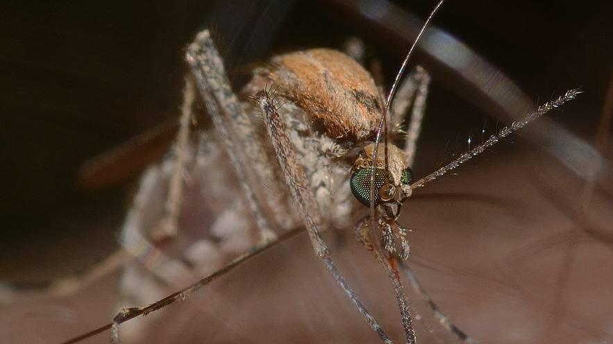 UNO will Mücken sterilisieren