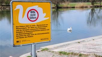 Schwäne sind im Bereich der Rottenschwiler Brücke seit einiger Zeit nur noch vereinzelt zu sehen. Toni Widmer