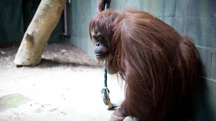 Die Orang-Utan-Dame Sandra darf vom Zoo in Buenos Aires in ein Reservat in Florida umziehen. (Archivbild)