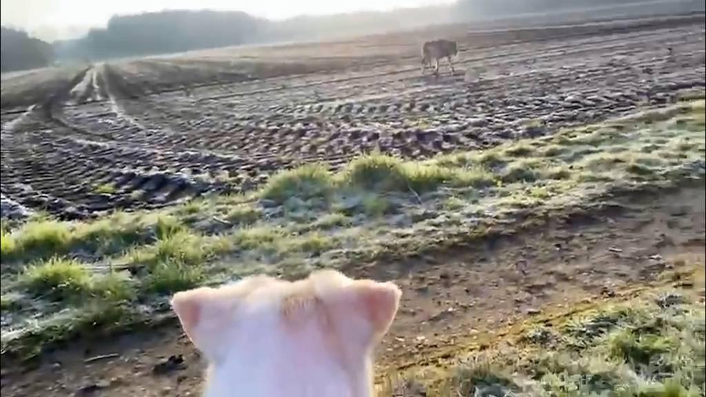 «Verpiss dich!» – Spaziergängerin begegnet Wolf