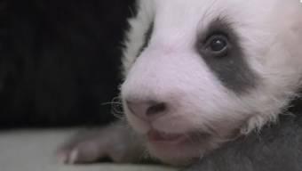 Jööö! Die ersten Gehversuche der kleinen Pandas im Video.