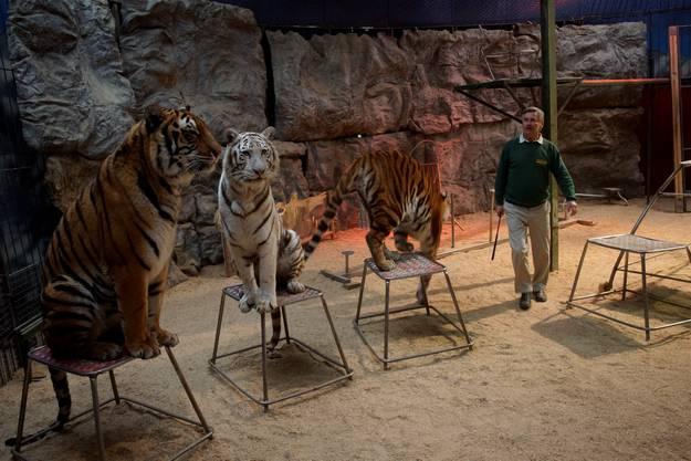 René Strickler arbeitet mit seinen Tigern