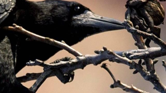 Nestbau mit Kleiderbügel: Krähe stürzt Japan ins Chaos (Symolbild)