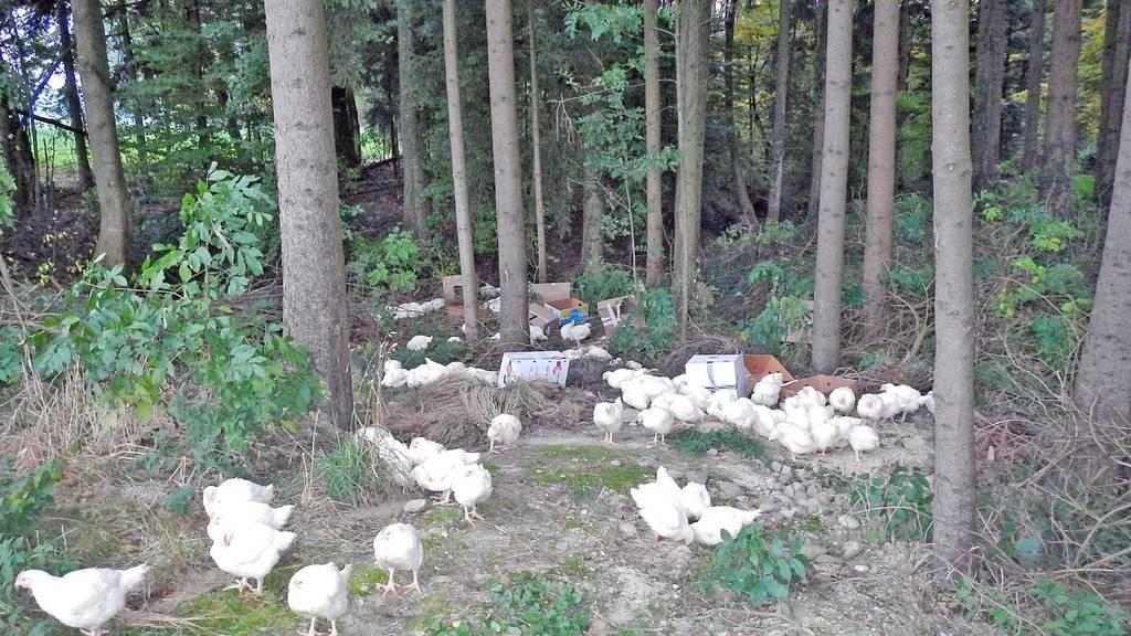 Im Oktober 2015 wurden in Happerswil 150 Hühner im Wald ausgesetzt