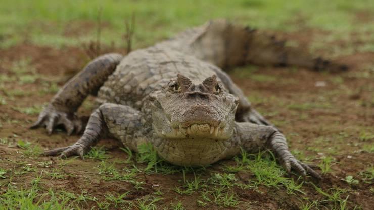 Kaimane werden oft mit Krokodilen verwechselt. Sie sind aber kleiner und weniger gefährlich. (Symbolbild)