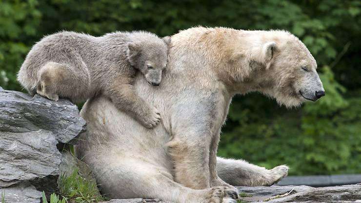 Russland lässt erstmals die Eisbären in seinem Territorium zählen. (Archivbild)